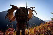 Moose Hunter Carries A Large Moose Antler Rack As He Hikes Out From His Hunt In The Bird Creek Drainage Area, Chugach National Forest, Chugach Mountains, Southcentral Alaska, Autumn