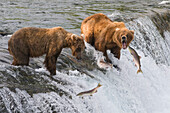 Three Sockeye Salmon Jump In Front Of Two Adult Brown Bears Standing At The Top Of Brooks Falls, Katmai National Park, Southwest Alaska, Summer