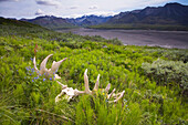 Hiker Views Moose Antlers On Tundra At Grassy Pass Near The Eielson Visitor Center Denali National Park Alaska