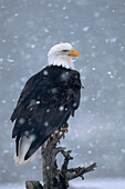 Bald Eagle Perched On Driftwood In Snowstorm Ak Kp Winter