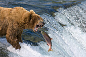 Brown Bear Catching Red Salmon On Falls On Brooks River Katmai National Park Southwest Alaska Summer
