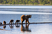 Brown Bear Sow And Triplet Cubs Walk On The Spit Between Brooks River And Naknek Lake, Katmai National Park, Alaska.