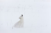 Arctic Fox Howling During A Ground Blizzard On Alaska's Arctic North Slope, Winter