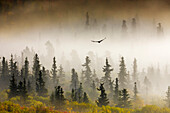 Raven Flys Through Spruce Trees In The Morning Fog, Denali National Park, Interior, Alaska.