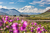 Tourists Mt. Mckinley From Stony Dome In Denali National Park, Interior, Alaska. Pink Dwarf Fireweed In The Foreground.
