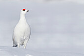 Male Willow Ptarmigan In Winter Plumage Standing On Hard Packed Snow With Red Crest Visible, Chugach Mountains, Southcentral Alaska, Winter