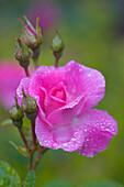 Closeup Of Garden Rose Covered W/Dew Fairbanks Alaska Summer Interior