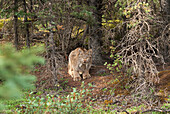 An Adult Lynx Crouches At Base Of Spruce Tree Near Teklanika Campground In Denali National Park And Preserve, Interior Alaska, Summer