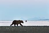 Brown Bears On Beach In Hallo Bay, Katmai National Park, Alaska Peninsula, Southwest Alaska, Summer.