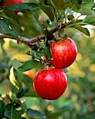 Agriculture - Royal Gala apples on the tree / Yakima Valley, Washington, USA.