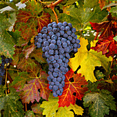Agriculture - Mature Cabernet Sauvignon wine grapes on the vine, ready for the harvest / Monterey County, California, USA.