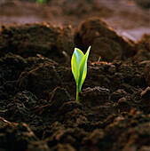 Agriculture - A corn seedling emerging from the soil in early morning light / Iowa, USA.