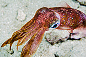 'Underwater view of an oval squid (Sepioteuthis lessoniana); Maui, Hawaii, United States of America'