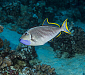 'Underwater view of a male Bluegill Triggerfish (Xanthichthys auromarginatus) at Molokini Crater; Maui, Hawaii, United States of America'