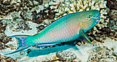 'Underwater view of a Redlip Parrotfish (Scarus rubroviolaceus) male at Molokini Crater; Maui, Hawaii, United States of America'