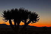 'Silhouette Of A Quiver Tree (Aloe Dichotoma) At Sunset; Namibia'