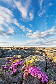 Pink moss campion blossoms, Archimedes Ridge, Utukok Uplands, National Petroleum Reserve, Alaska.
