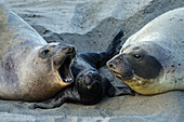 'Northern Elephant Seal (Mirounga Angustirostris) On The Central California Coast; California, United States Of America'