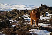 Icelandic horse, region of lake myvatn, northern iceland, europe