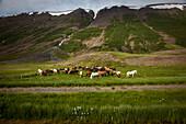 Herd of icelandic horses, skagafjordur, northwestern iceland, europe