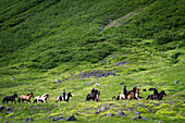 Trekking on icelandic horses, skagafjordur, northwestern iceland, europe