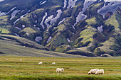 Sheep grazing in landmannalaugar, volcanic and geothermal zone of which the name literally means 'hot baths of the people of the land', region of the high plateaus, southern iceland, europe