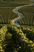 Road through the vineyards of champillon, marne (51), champagne-ardenne, france