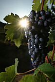 Syrah grape bursting with sun, vineyard of chateaubourg, (07) ardeche, rhone-alpes, france