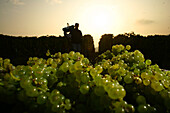 Grape harvest in champagne, marne (51), champagne-ardenne, france