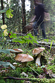Gathering edible mushrooms (porcini and boletus) in the forest of conches-en-ouche, eure (27), france