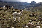 Llamas and alpacas, Andes, Peru, South America