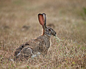 African hare (Cape hare) (brown hare) (Lepus capensis) eating, Addo Elephant National Park, South Africa, Africa