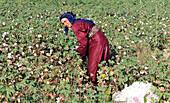Syria, near Aleppo, October 2010. Cotton harvesting