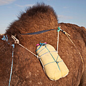 Water on a camel's back. Tunisia.