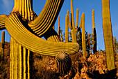 SAGUARO CACTI (CARNEGIEA GIGANTEA) TWISTED BY FROST, SAGUARO NATIONAL PARK, ARIZONA, USA, ARIZONA, USA