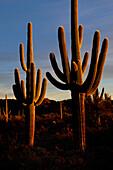 SAGUARO CACTI (CARNEGIEA GIGANTEA), ORGAN PIPE CACTUS NATIONAL MONUMENT, SONORAN DESERT, ARIZONA, USA
