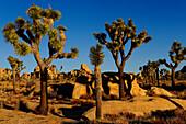 JOSHUA TREES (YUCCA BREVIFOLIA), JOSHUA TREE NATIONAL PARK, MOJAVE DESERT, CALIFORNIA, USA