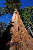 GIANT SEQUOIA TREE (SEQUOIADENDRON GIGANTEUM), MARIPOSA GROVE, YOSEMITE NATIONAL PARK, CALIFORNIA, USA
