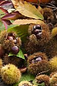 Composition of chestnuts in their bugs and leaves