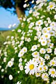 France, Midi Pyrenees, Ariege, daisies in the seronais