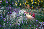 Flowers of Aster Pink star background of Stipa tenuissima, Imperata cylindrica Red Baron, October