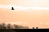 Seine et Marne. Rozay en Brie region. Women during a horse riding in the countryside. Ash being heron across the sky.