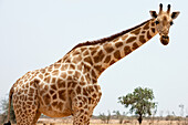 'a subspecies of giraffe which in 19th C was found in Sahel Regions of West Africa; Southwest NIger, Last herd of endangered (IUCN 3.1) West African Giraffe (Giraffa Camelopardalis Peralta)'