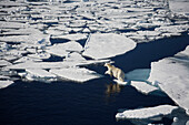'Polar bear on melting sea ice, high angle view from cruise ship; Svalbard, Norway'