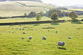 'Sheep grazing in a field; Kingston Deverill, West Wiltshire, England'