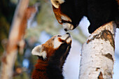 Pair Of Red Pandas