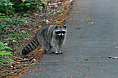 An Inquisitive Raccoon