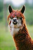 Close Up Of A Llama