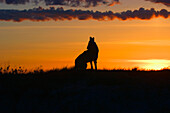 Coyote Howling At Dawn