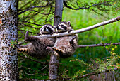 Baby Raccoons (Procyon Lotor) Hanging From Tree Branch